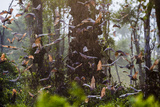 Straw-Coloured Fruit Bats (Eidolon Helvum) Returning To Daytime Roost At Sunrise Papier Photo par Nick Garbutt