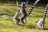 Ringtailed Lemurs Playing (Lemur Catta) Nahampoana Reserve  South Madagascar  Africa