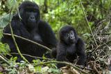 Mountain Gorilla (Gorilla Gorilla Beringei) Baby Age One Year Exploring Papier Photo par Suzi Eszterhas