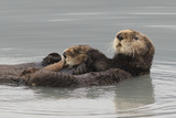 Sea Otters  Mother with Pup