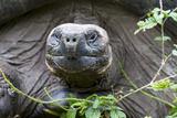 Ecuador  Galapagos Islands  Santa Cruz Highlands Face of a Wild Galapagos Giant Tortoise