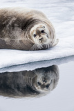 Norway  Svalbard  Pack Ice  Bearded Seal on Ice