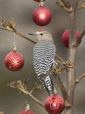 Arizona  Buckeye Male Gila Woodpecker on Decorated Stalk at Christmas Time