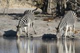 Burchell's Zebras  Khwai Concession  Okavango Delta  Botswana