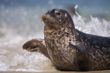 California  La Jolla Baby Harbor Seal in Beach Water