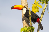 Brazil  Mato Grosso  the Pantanal a Toco Toucan in a Papaya Tree