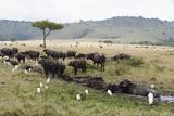 African Buffalo  Masai Mara  Kenya