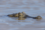Brazil  Mato Grosso  the Pantanal  Rio Cuiaba Black Caiman in Water