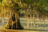 Louisiana  Lake Martin Cypress Tree in Swamp