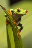 Costa Rica Red-Eyed Tree Frog Close-Up