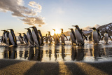 South Georgia Island  St Andrew's Bay King Penguins on Beach at Sunrise