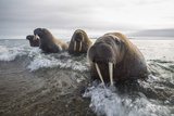 Europe  Norway  Svalbard Walruses Emerge from the Sea