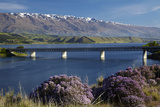 Wild Thyme in Flower in Spring  Deadman's Point Bridge and Lake Dunstan  South Island  New Zealand