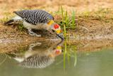 Texas  Hidalgo County Golden-Fronted Woodpecker Drinking