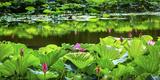 Pink Lotus Pond Garden Lily Pads Summer Palace  Beijing  China