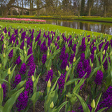 Purple Hyacinth in Spring Garden