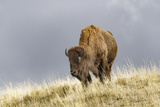 Bison in Fall, Lamar Valley, Yellowstone National Park, Wyoming Papier Photo par Adam Jones