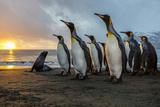 South Georgia Island  Gold Harbor King Penguins and Fur Seal on Beach at Sunrise