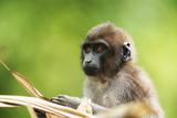 Asia  Indonesia  Sulawesi  Buton Island Juvenile Buton Macaque