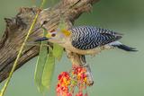 Texas  Hidalgo County Golden-Fronted Woodpecker on Log