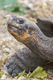Ecuador  Galapagos Islands  Charles Darwin Research Center  Galapagos Giant Tortoise