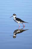 California  San Diego Black-Necked Stilt in Lindo Lake