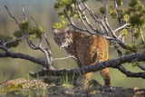 Bobcat on Lookout  Montana  Usa