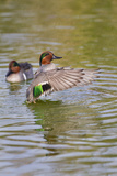 Green-Winged Teal Stretching Wings