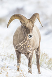 Wyoming  Jackson  National Elk Refuge  a Young Bighorn Sheep Rams Eats a Plant in the Wintertime