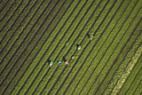 Workers Picking Vegetables Near Ardmore  South Auckland  North Island  New Zealand