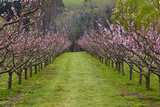 Orchard in Blossom at Earnscleugh  Near Alexandra  Central Otago  South Island  New Zealand