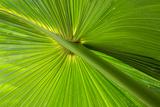 Hawaii  Maui  Hawaiian Fan Palm with Back Lighting