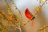 Northern Cardinal Male Perched in Blooming Huisache Tree