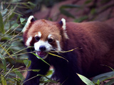 Red Panda Shining Cat Eating Bamboo  Chengdu  Sichuan  China