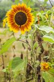 Massachusetts  Cape Ann  Rockport  Sunflower
