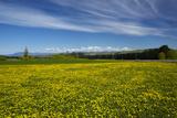 Field of Dandelions  Near Greta Valley  North Canterbury  South Island  New Zealand
