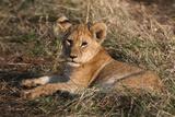 Lion Cub  Masai Mara  Kenya