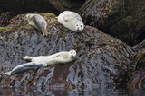 Harbor Seals Resting at Low Tide
