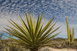 Mexico  Baja California Yucca and Cardon Cactus with Clouds in the Desert of Baja