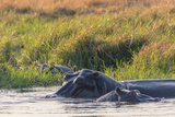 Botswana Okavango Delta Khwai Concession Hippo Mother and Baby in the Khwai River