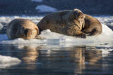 Norway  Svalbard  Spitsbergen Walrus on Ice