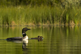 Common Loon with Pair of Newborn Chick on Small Mountain Lake Near Whitefish  Montana  Usa