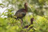 Louisiana  Miller's Lake White-Faced Ibis Pair in Tree