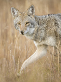 Mountain Coyote, Canis Latrans Lestes, Grand Teton National Park, Wyoming Papier Photo par Maresa Pryor