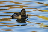 Ring-Necked Duck Male on Blue Water