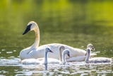 Montana  Elk Lake  a Trumpeter Swan Swims with Five of Her Cygnets