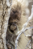 Wyoming  Sublette County  a Porcupine Peers from the Trunk of a Cottonwood Tree