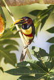 Brazil  Mato Grosso  the Pantanal Chestnut-Eared Aracari in a Tree