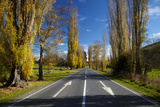 Poplar Trees in Autumn at Entrance to Lawrence  Central Otago  South Island  New Zealand