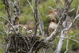 Red-Tailed Hawk with Four Chicks in Nest Near Stanford  Montana  Usa